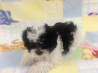 He is a very sweet, cute, and cuddly Malti-Zu puppy!