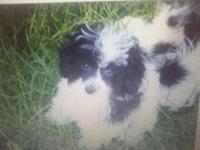 Sweet male maltipoo has been neutered and is crate and