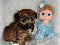 Adorable tri-color brown maltipoo male, 2 months old,
