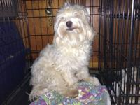 This is Jr. a 1 year old unaltered male Maltipoo. He is