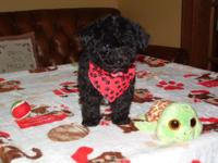 Tiny male malti-poo he weighs only 2.6 lbs at 9.5 wks!