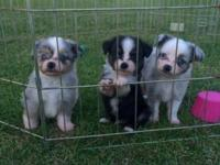 Three male mini Aussies 2 blue merle with two blue eyes