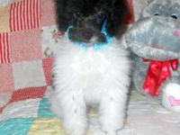 I have one handsome poodle, a black parti miniature