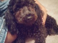 I have a mini poodle who is 18 months old, neutered,