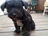 For sale male miniature schnauzer with a mix of colors.