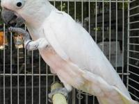 Male Moluccan Cockatoo . 13yrs old. Shy at first. Only