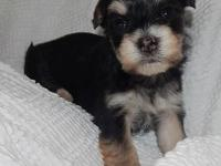 Male Morkie available with beautiful color. Will be 6