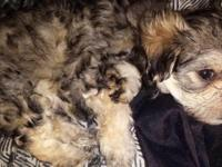 I have 2 morkie young puppies. Morkies are a