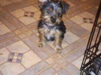 11Wk old Male Morkie Puppy First Set of Shots &
