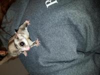 I have a 1 year old male glider for sale. He is use to