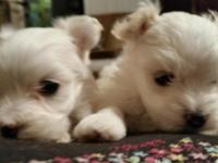 Two tiny Maltipoo male babies born June 21. 3/4 maltese