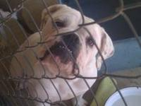 For sale male olde english bulldog. He is white with a