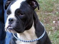 We have an awesome Olde English Bulldogge pup, male,