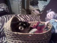 Zorro is a Cute and Playful Parti Morkie puppy
