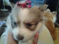 I have 1 purebred Pomeranian young puppy for sale. When