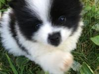 I have 1 purebred Pomeranian puppy for sale. He will be