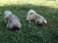 I have an exquisite pekingese male puppy that is ready