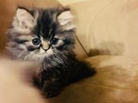 Beautiful male Persian Kittens. Grey multicolored male