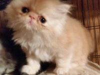 CFA Registered Persian kittens both are males. They