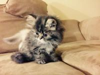 Gorgeous male Persians. Non-papered. Grey tipped white