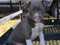Pocket bully puppies Will be short wide and thick Nice