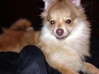 1yr old Pom male he have Ben around kids he Ben around