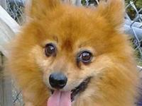 Male Pomeranian for sale with papers, dog crate, dog