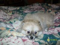 Adorable 10 week old Male party Pomeranian. He has had