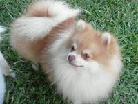 Male behaiver pomeranian, his name is choco. He has