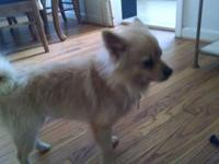 male red Pomeranian to a great home. ace is a 2 year