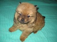 Sable color male Pomeranian young puppy: he will be 8