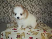 AKC Pomeranian puppies male one is chocolate cream