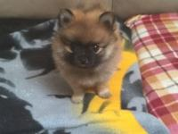 I have 2 male orange sable pomeranian puppies for sale.