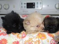 I have 3 male Pomeranian new puppies available for sale