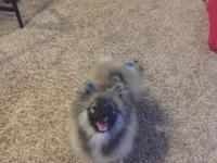 6 month old male Pomeranian. Completely approximately
