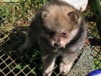 I have a male Pomeranian Puppy, Orange/Sable, 8 weeks