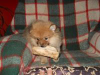 This is a very handsome little male sable pom. He is