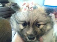 I have 1 purebred Pomeranian young puppy for sale. He