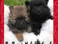 I have 1 male Pompoo for sale. His mother is a black