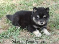 Pomsky For Sale In North Carolina Classifieds Buy And Sell In