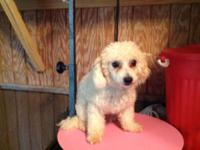 Up for sale male poodle 8 month shots and kennel train