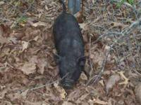 I have a young Potbelly pig. He's a bit skittish and