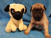 We have 1 fawn male purebred pug left from a litter of