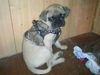 born on march 14th little male pug puppy. he is great
