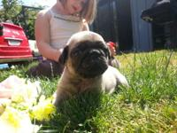 I have one male pug puppy for sale, he is 11 weeks old