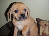 MALE PUGGLE UP TO DATE ON ALL SHOTS, DE-WORMED, 2 YR.