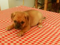 DESIGNER MALE PUGGLE PUPPY. MIX BETWEEN A PUG & &