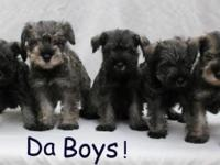 Two Month Old Purebred Miniature Schnauzer Puppies.