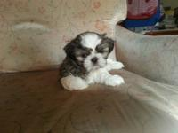 Hunter is a pure bred shih tzu, He was born September