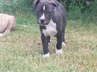 I have a black brindle male puppy available for $200.
